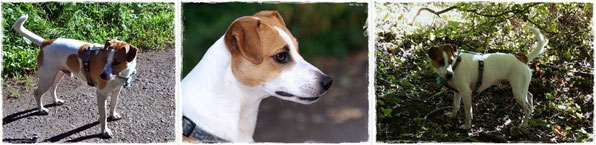 Dansk/Svensk Gardhund Charlie
