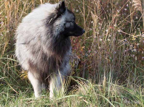 Wolfsspitz Fox