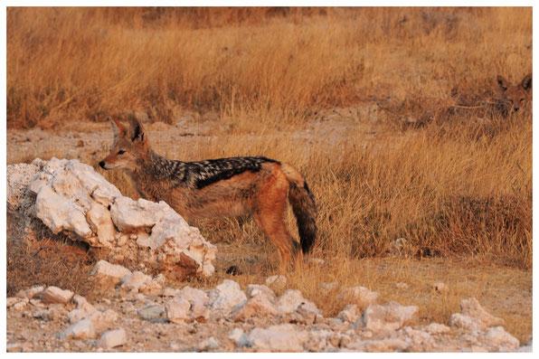 Chacal à chabraque de Namibie