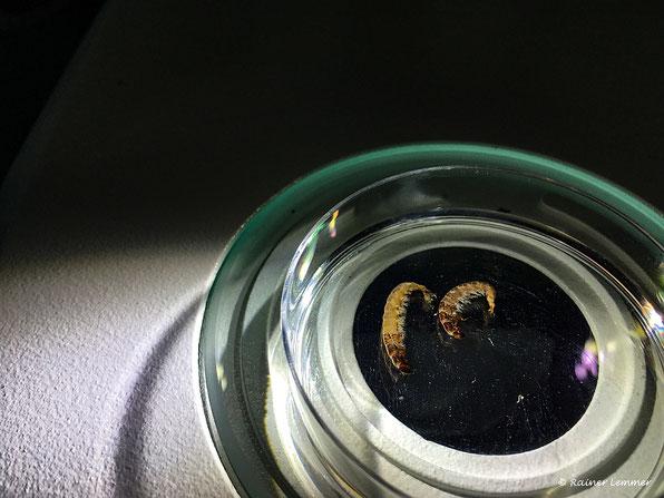 Trichoptera - Köcherfliegen