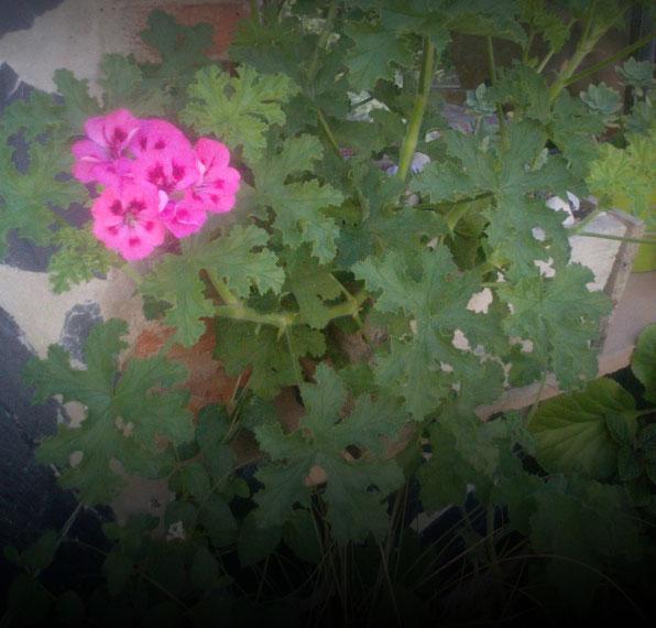 """Pelargonium """"Brunswick"""""""