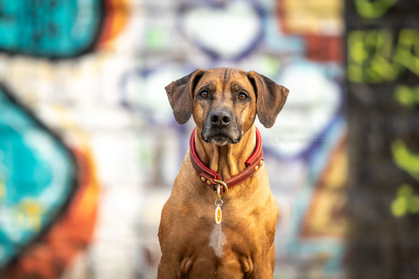 Rhodesian ridgeback Desiree Dea of Luanda