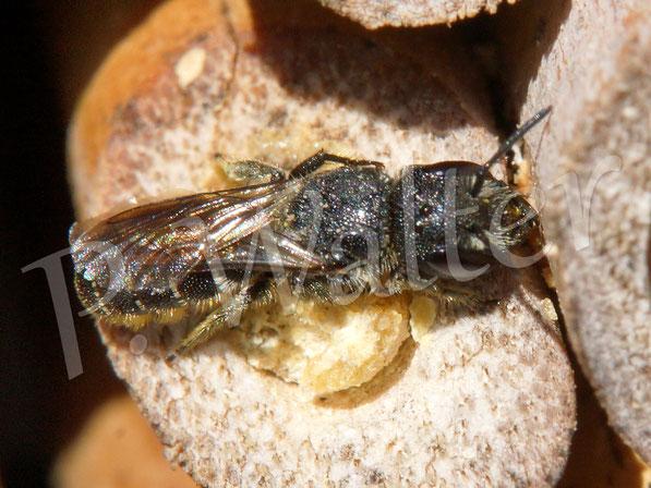 16.09.2017 : Löcherbiene an einem Nistverschluss (nicht unbedingt ihrer, da sie auch Harz klauen)