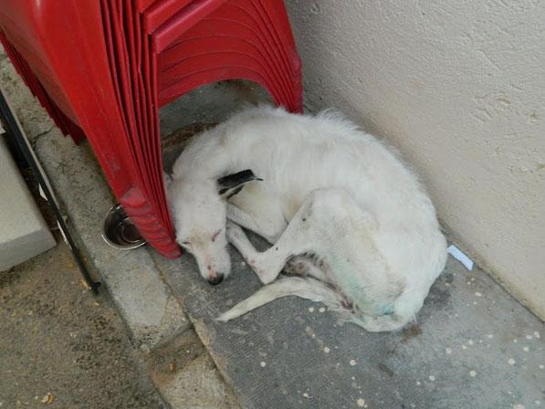 Savoie lorsqu'elle a été recueillie par le refuge de Cuenca, très amaigrie et à bout de force