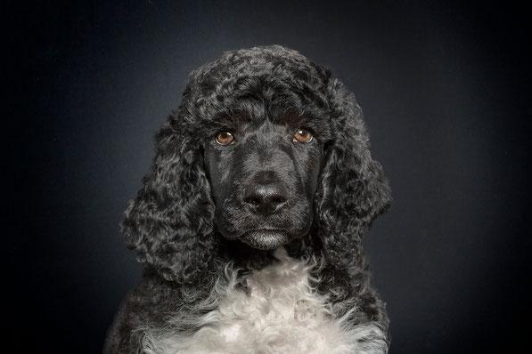 Rock a Dog's A certain light of Amadeus Adenauer