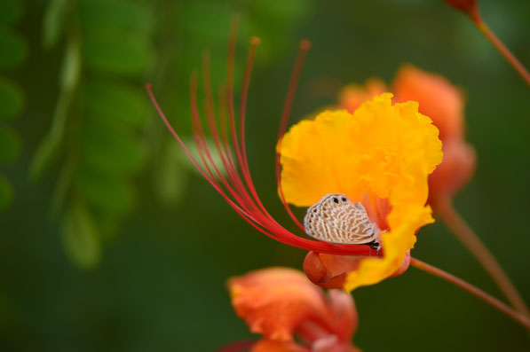 small sunny garden, caesalpinia, pulcherrima, red bird of paradise, pride of barbados, butterfly, blue, desert garden, amy myers, photography, garden blog