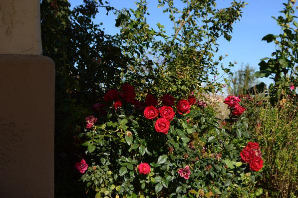 rose 'Daniela'