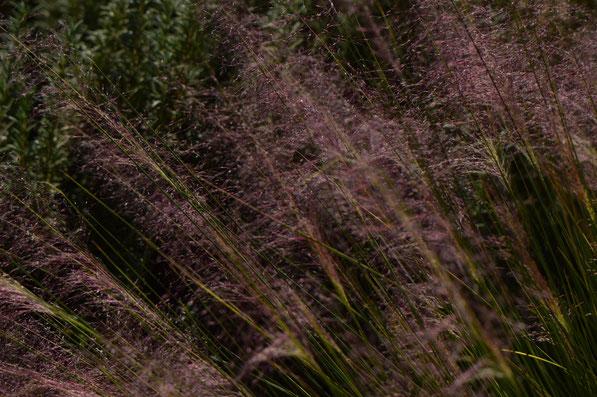 Muhlenbergia capillaris Regal Mist