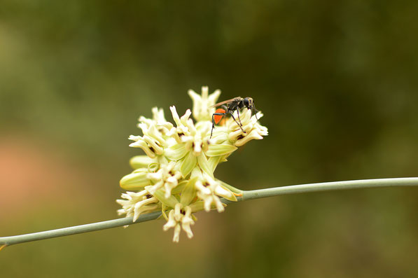 small wasp on desert milkweed (asclepias subulata)