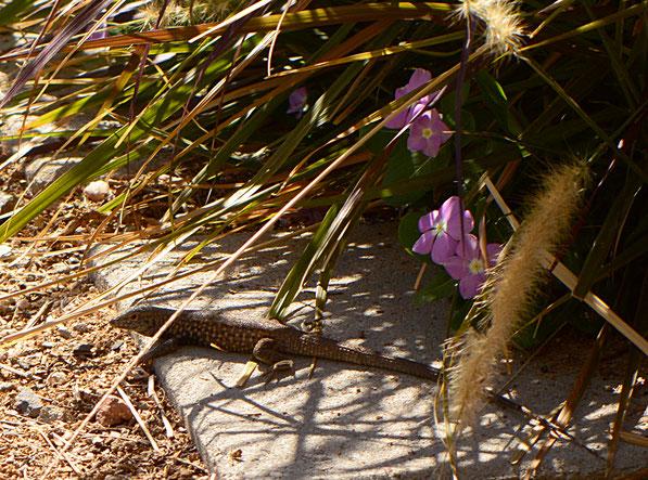 lizard, small sunny garden