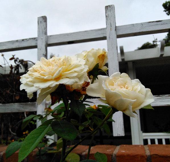 tea rose Sombreuil