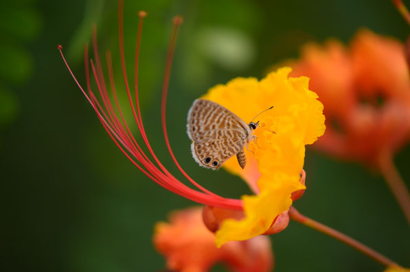 small sunny garden, caesalpinia, pulcherrima, red bird of paradise, pride of barbados, butterfly, blue, desert garden, amy myers, photography, garden blog