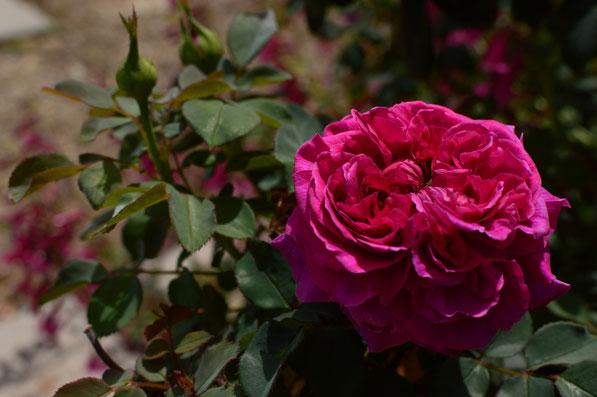 rose William Shakespeare 2000