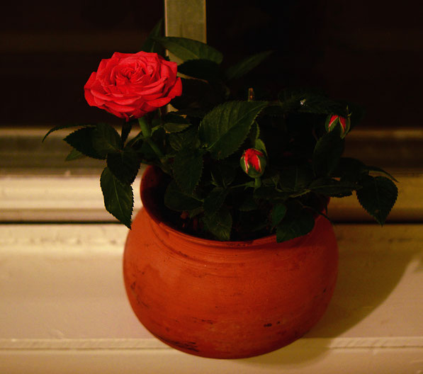 miniature rose in a flower pot