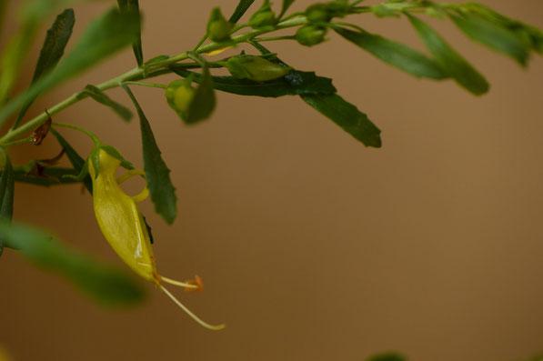 Eremophila x Outback Sunrise