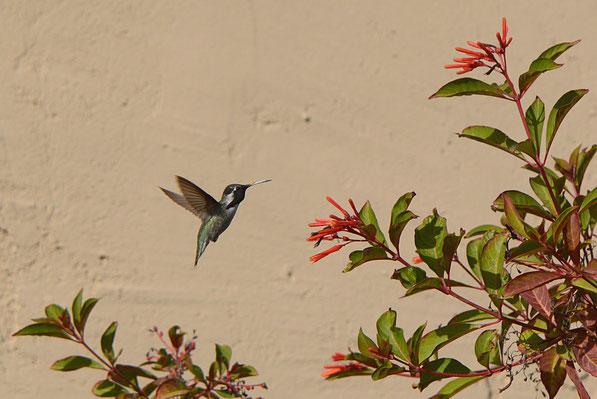 male Costa's hummingbird and Hamelia patens