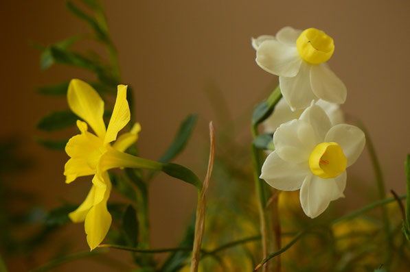 Narcissus x odorus and noID paperwhite