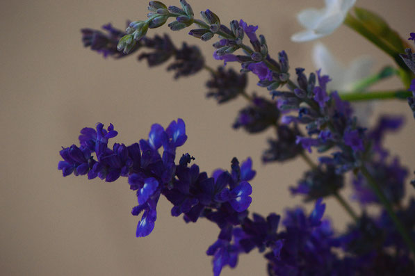 salvia farinacea and lavandula x intermedia