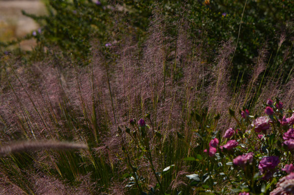 a froth of Muhlenbergia capillaris Regal Mist with miniature roses