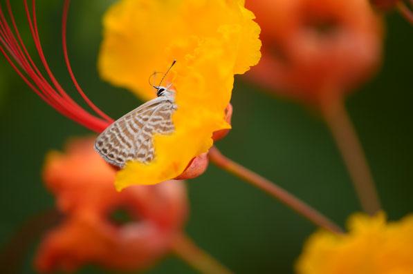 small sunny garden, caesalpinia, pulcherrima, red bird of paradise, butterfly, blue, desert garden, amy myers, photography, garden blog, pride of barbados