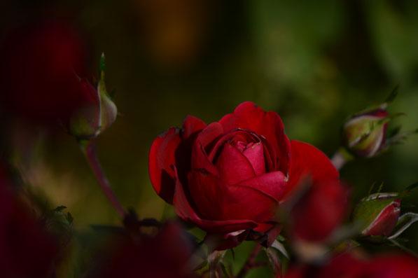 miniature rose Daniela
