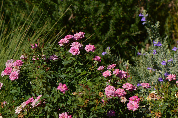 miniature rose, small sunny garden