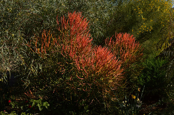 euphorbia tirucalli sticks on fire