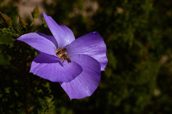 Two bees on Alyogyne huegeli