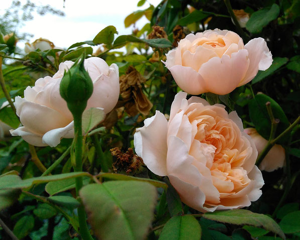 rose The Ambridge Rose