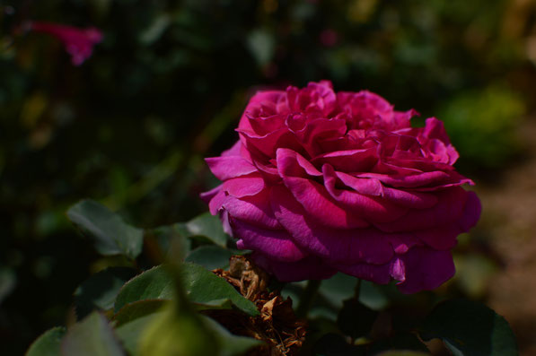 rose William Shakespeare 2000