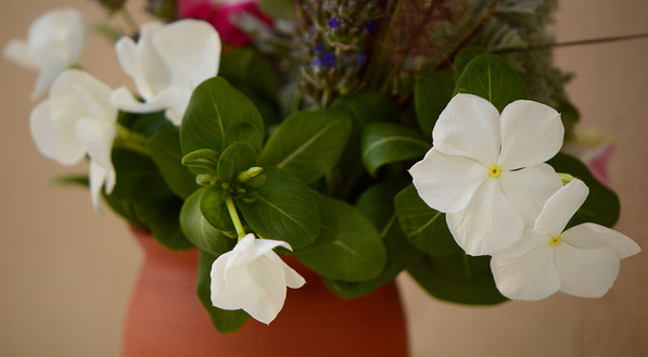 Catharanthus roseus in the Monday Vase