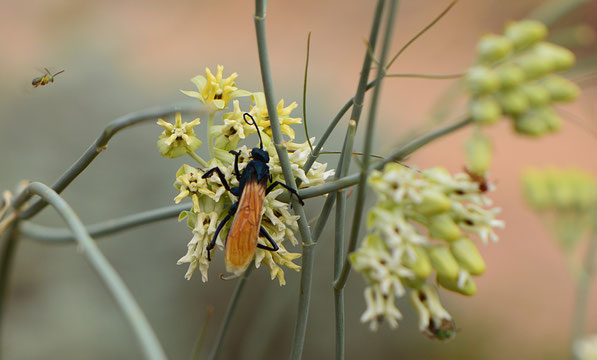 tarantula hawk (pepsis) on asclepias subulata