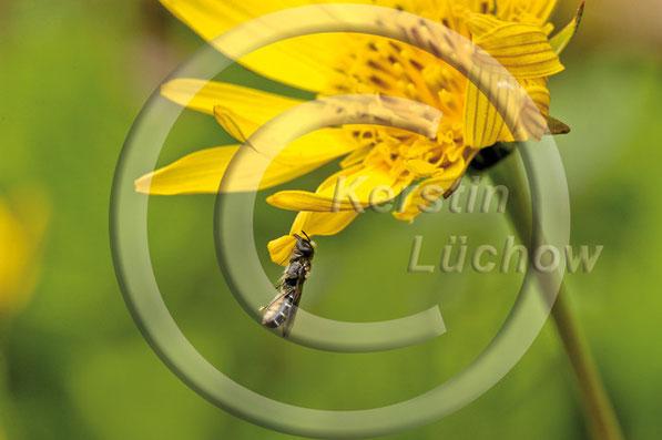 Ziemlich verbissen: Eine Scherenbiene (Osmia florisomne) klammert sich mit ihren Mandibeln an die Blüte des Wiesenbocksbartes (Tragopogon pratensis). Diese bizarr anmutende Schlafstellung ist typisch für einige solitäre Wildbienen.
