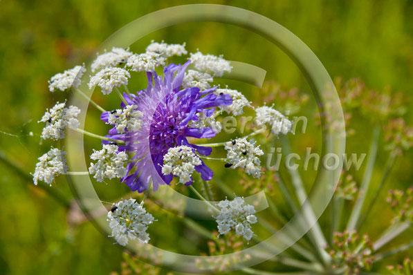 Eng umschlungen: Der Naturgarten präsentiert uns immer wieder faszinierende Kombinationen von Formen und Farben. Hier eine Wiesenwitwenblume beim Plausch mit einem Berghaarstrang.