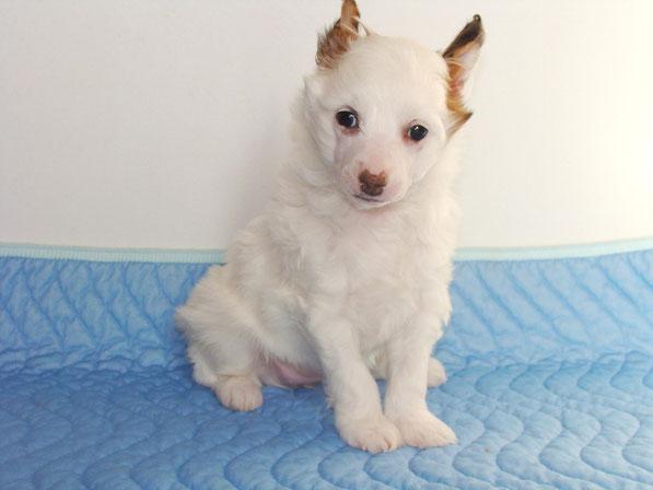 щенок китайской хохлатой пуховая девочка