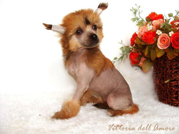 щенок китайской хохлатой - голая девочка