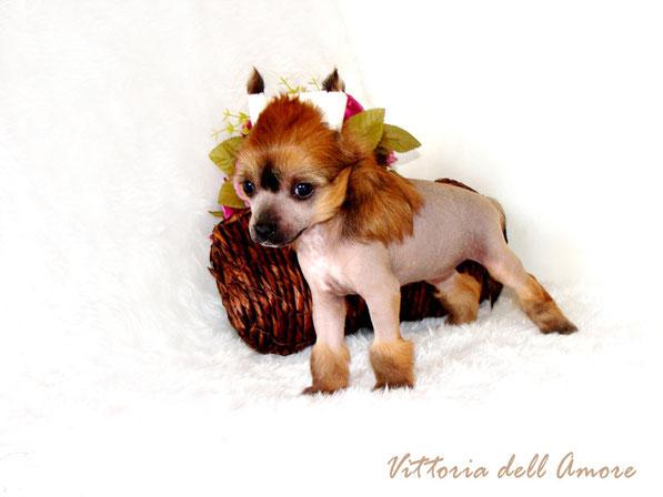 щенок китайской хохлатой - голая девочка бронза