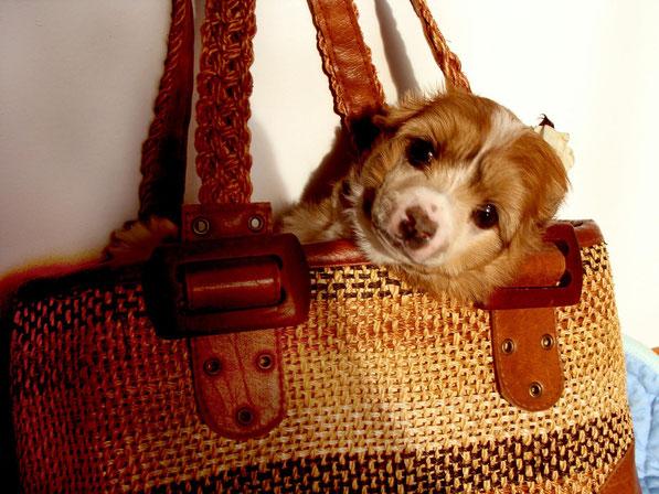 щенок китайской хохлатой - пуховая девочка