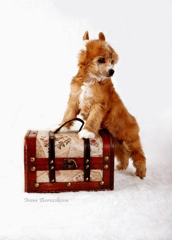 щенко китайской хохлатой собаки, Украина, Одесса