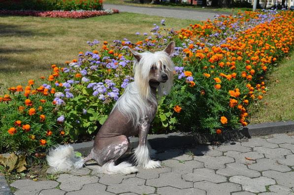 китайская хохлатая собака, Чернигов, Украина
