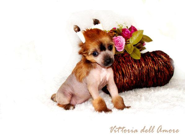 голая девочка щенок китайской хохлатой