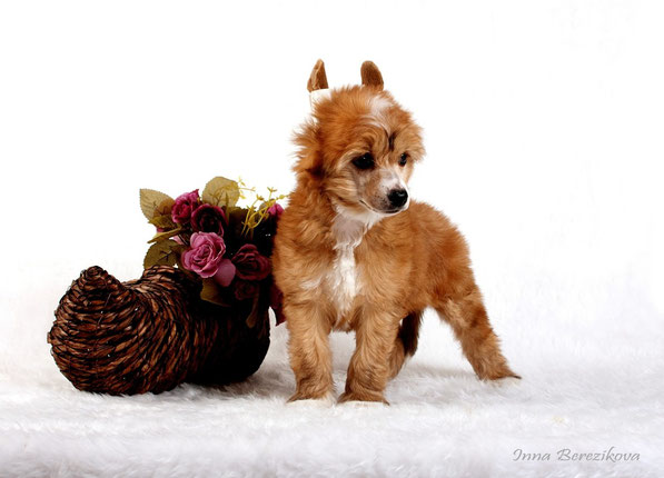 щенки китайской хохлатой собаки, Украина Одесса