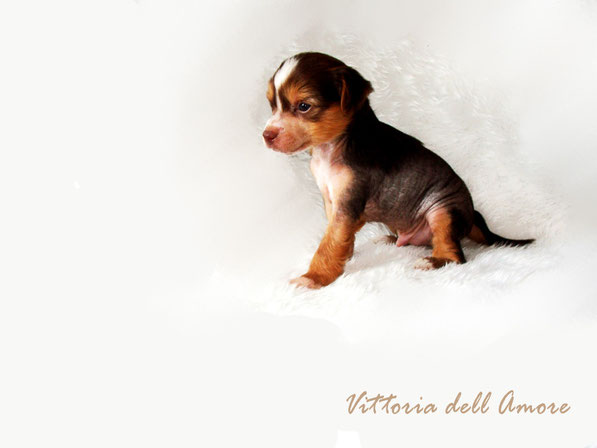 шоколадный щенок китайской хохлатой