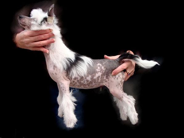 щенок китайской хохлатой - голый кобель