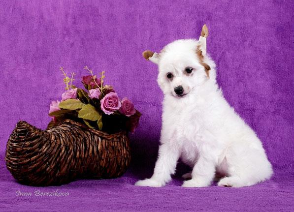 щенок китайской хохлатой собаки, Украина, Одесса