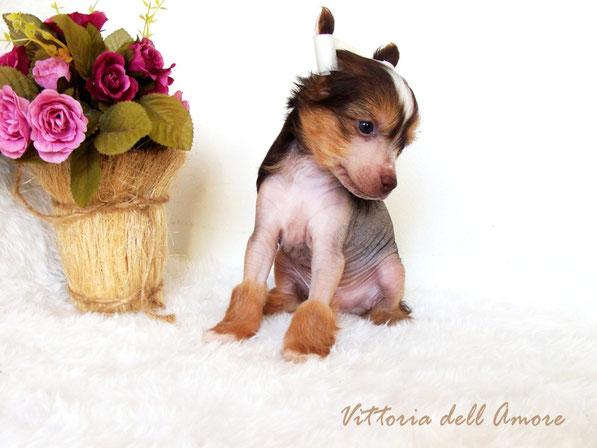 щенок китайской хохлатой шоколадного окраса