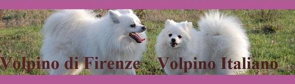 Volpino di Firenze Volpino Italiano