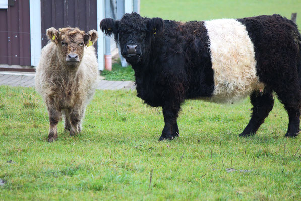 Belted Galloway, gallowayfleisch