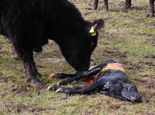 Geburt eines Kalbes