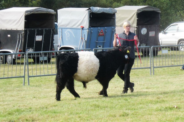 Belted Galloways